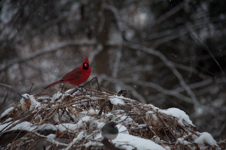 Cardinal and Junco