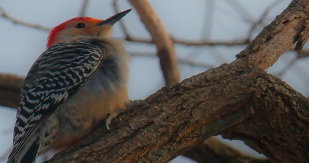 Red bellied woodpecker softened (1)