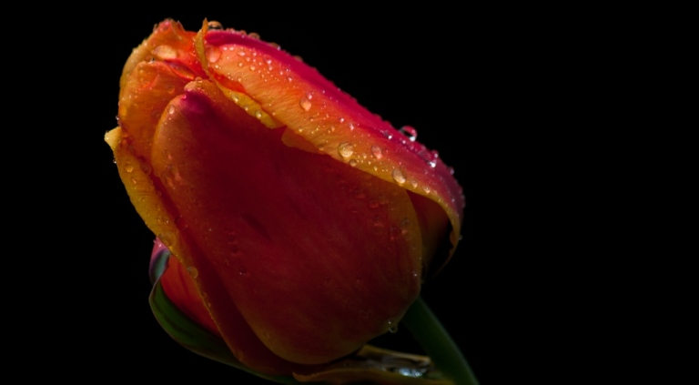 Tulip in the rain (2)
