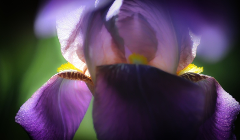 Softened iris