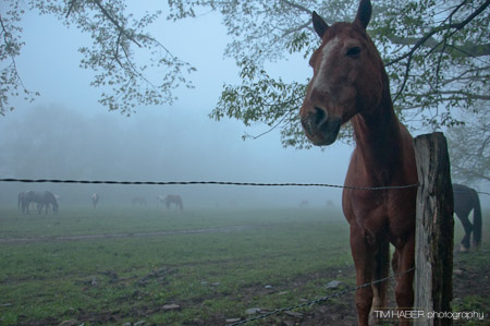 Horses in the foggy pasture (1)