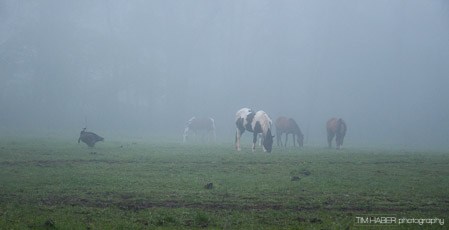 Horses in the foggy pasture (2)