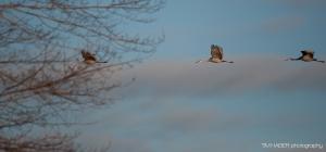 Sandhill cranes sunrise flight (5)