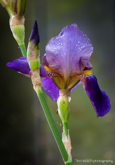 Portrait of an Iris