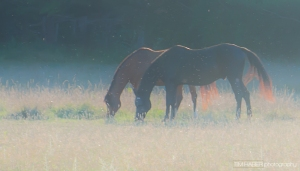 Horses in the evening sun